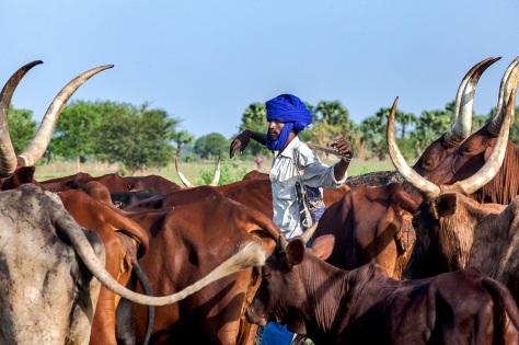 Un éleveur de bœuf à Tchoua, une communauté rurale. La Tandjilé est une des zones les plus fertiles et un couloir de transhumance. Global Fund/2014/Esiebo